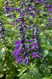 Salvia `Amistad` (PBR)