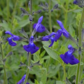 Salvia microphylla 'Blue Monrovia'