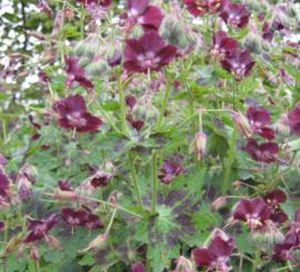 Geranium phaeum `Samobor`