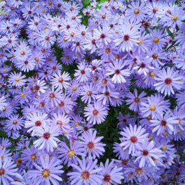 Aster `Little Carlow`