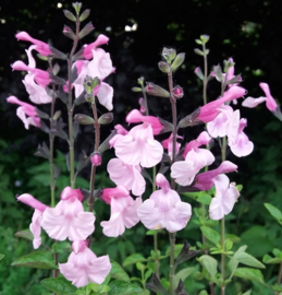 Salvia microphylla `Henny`