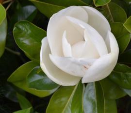 Magnolia grandiflora 'Exmouth', blogpost 1