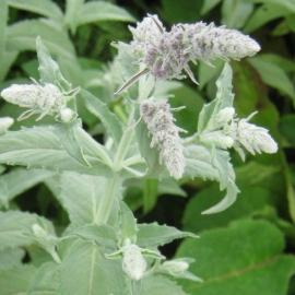 Mentha longifolia `Buddleja`