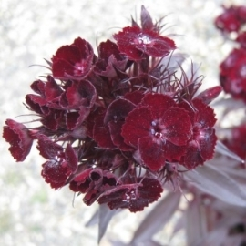 Dianthus barbatus nigrescens