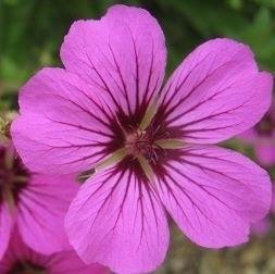 Geranium  hybride `Patricia`