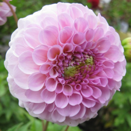 Dahlia `Wizard of Oz`