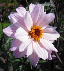 Dahlia ` Bishop of Leicester`