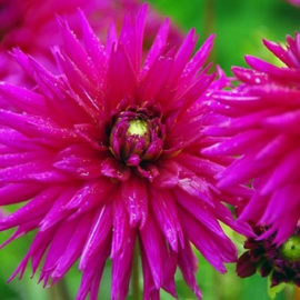 Magenta bloemen