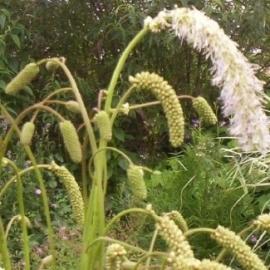 Sanguisorba tenuifolia `Alba`