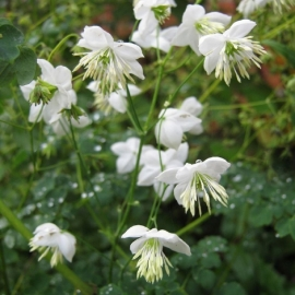 Thalictrum 'Splendide Album'  (PBR)