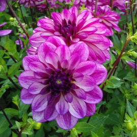 Dahlia `Seduction`