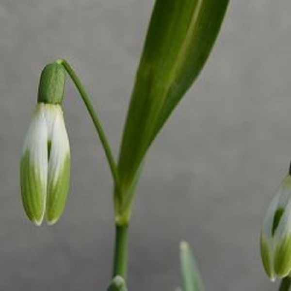 Galanthus nivalis Scharlockii