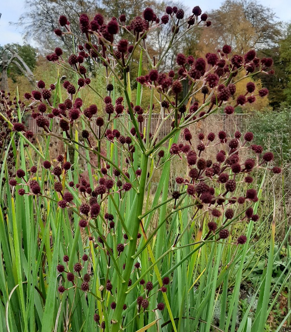 Eryngium pandanifolium 'Physic Purple' select