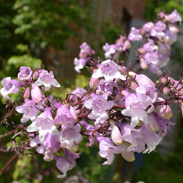 Penstemon digitalis 'Pocahontas' ®