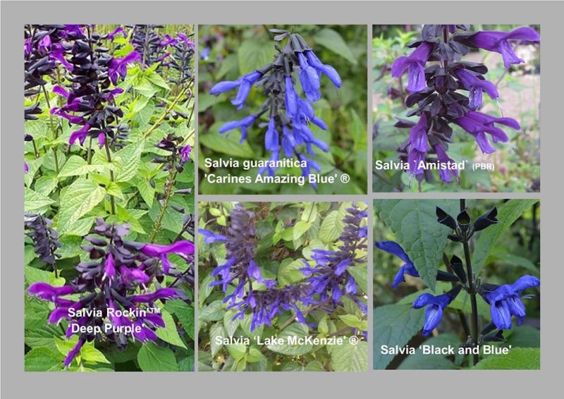 Salvia guaranitica Collectie
