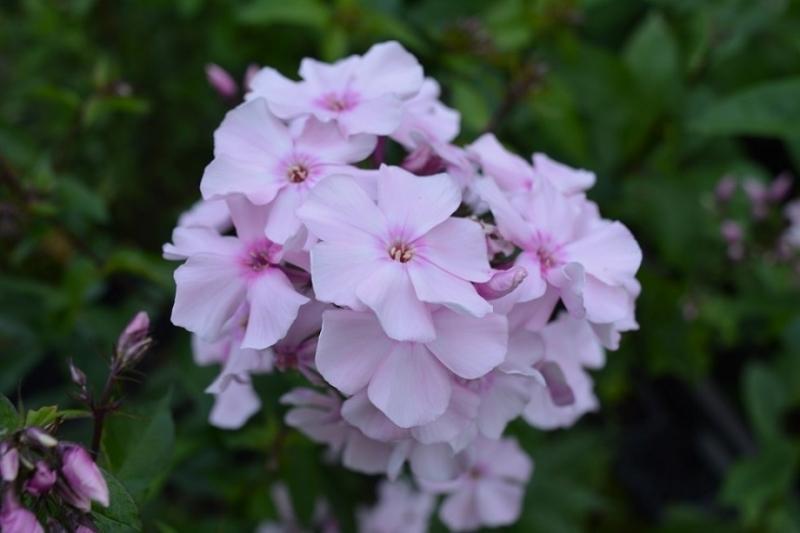 Phlox paniculata 'Rosa Pastell'