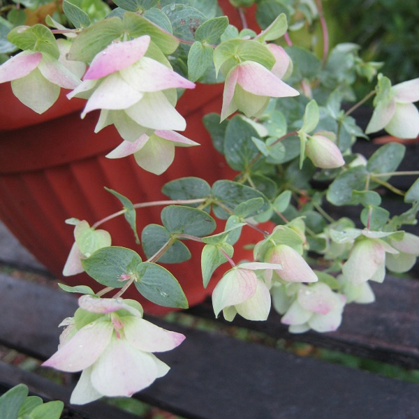 Origanum rotundifolium `Kent Beauty`