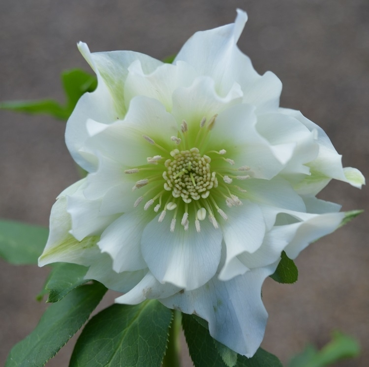 Helleborus x hybridus double  white flowered