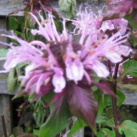 Monarda  `Beauty of Cobham`