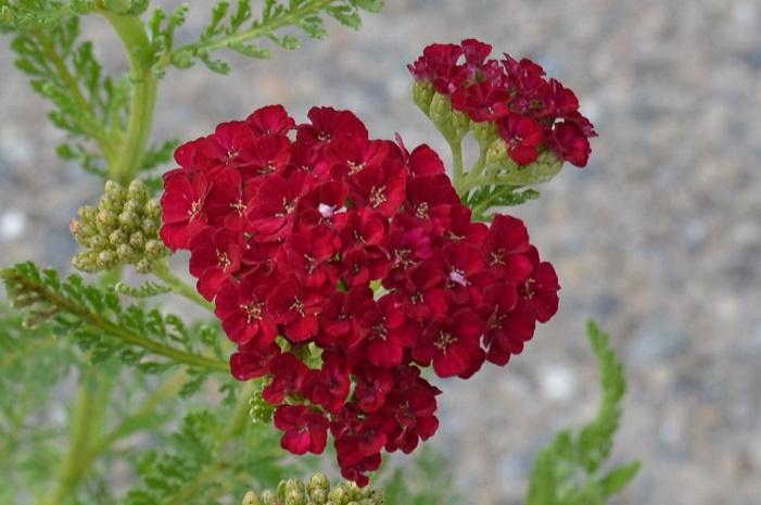 Achillea 'Pomegranate'™