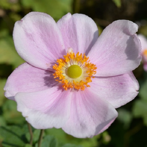 Anemone × hybrida 'Loreley'