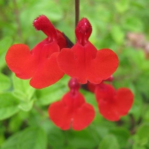 Salvia microphylla `Royal Bumble`