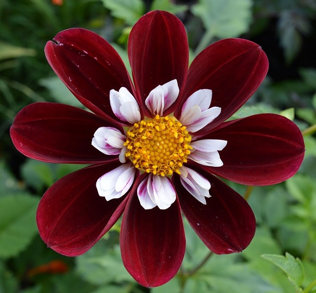 Dahlia `Mary Evelyn`