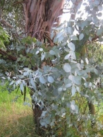 Eucalyptus glaucescens