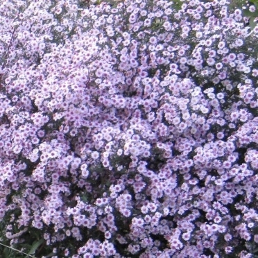 Aster `Pink Buttons`