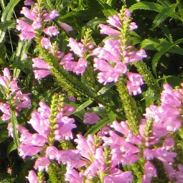 Physostegia virginiana `Bouquet Rose`