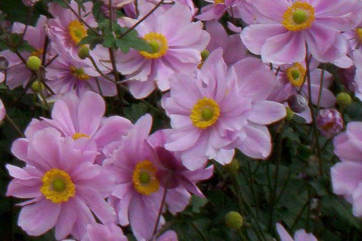 Anemone 'Serenade`