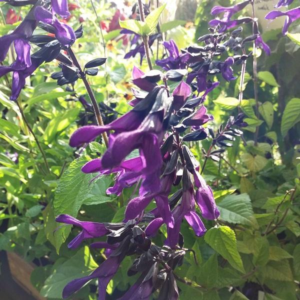 Salvia Rockin'™ 'Deep Purple' (P)