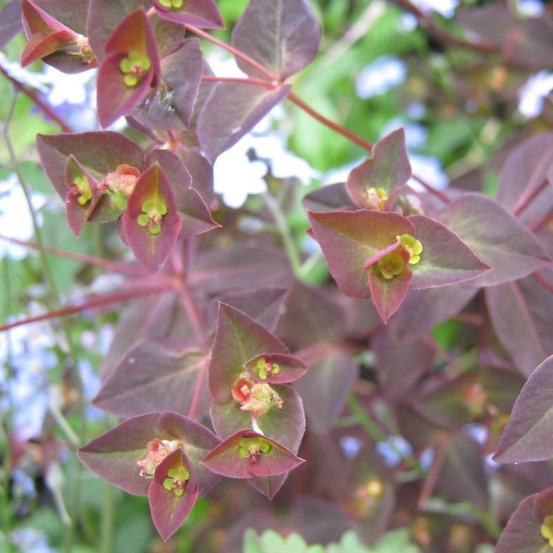 Euphorbia dulcis `Chameleon`