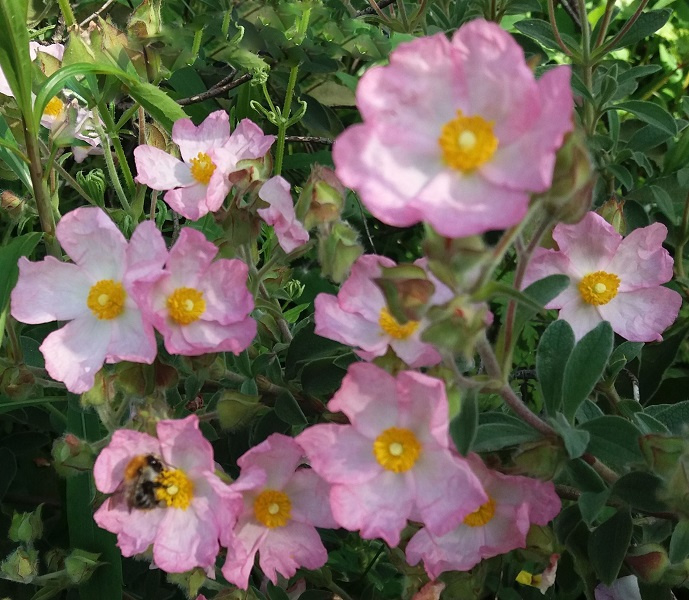 Cistus × argenteus 'Silver Pink'