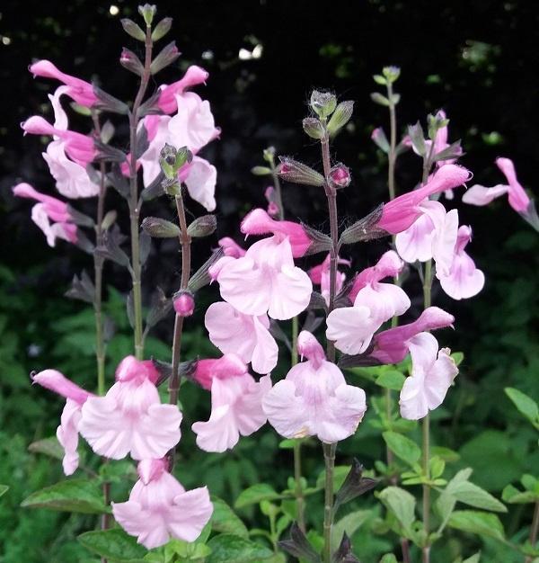 Salvia microphylla `Henny`