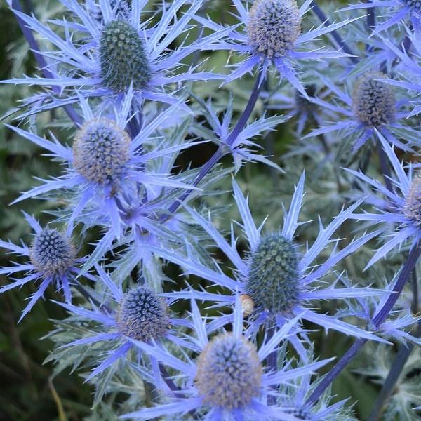 Eryngium × zabelii 'Big Blue'®