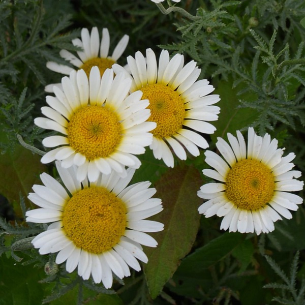 Anthemis `Sauce Hollandaise`