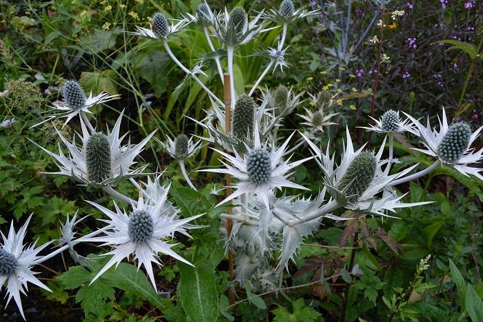 Eryngium  giganteum  Miss Willmott's ghost