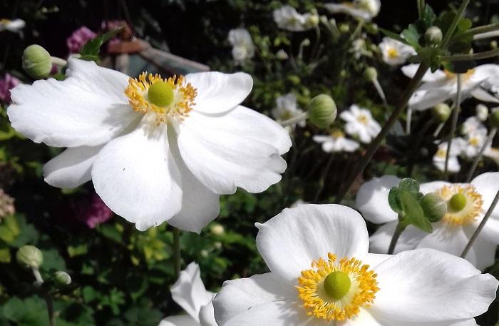 Anemone × hybrida 'Andrea Atkinson'