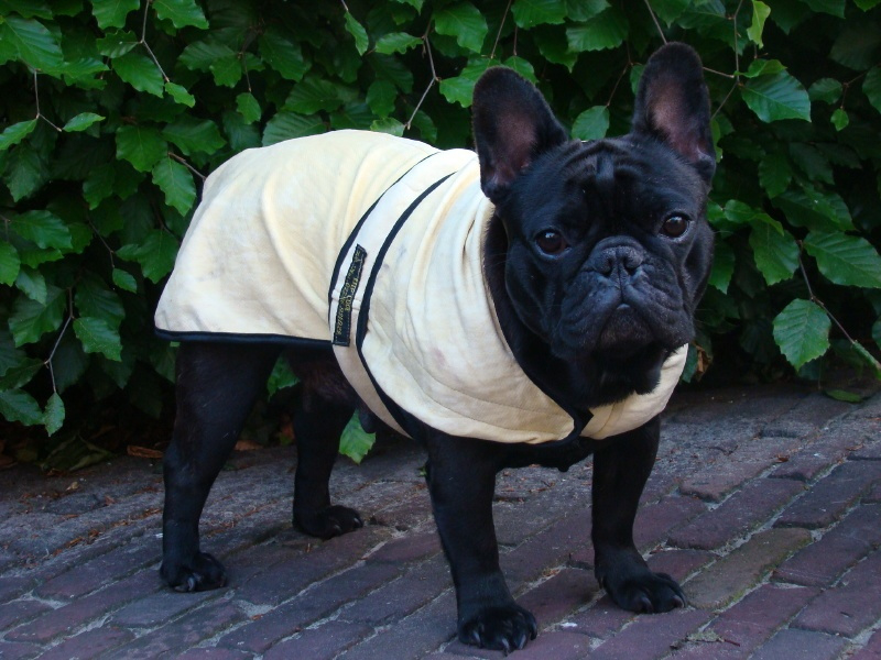 Cool-Jacket maat S - X-wide 46 cm (Franse bulldog) - Yellow