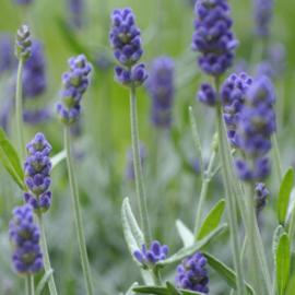 Werfzeep Lavendel
