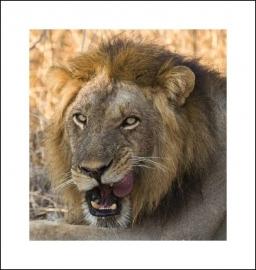Leeuw close up – een van Africa`s 'big five'