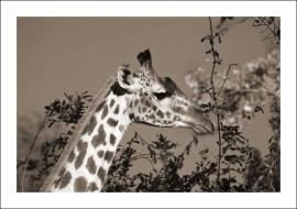 Giraffe in sepia