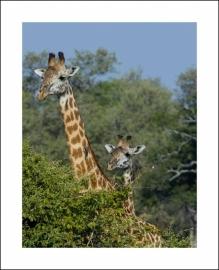 Giraffe groot en klein