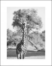 Een Giraffe wandelt heel statig
