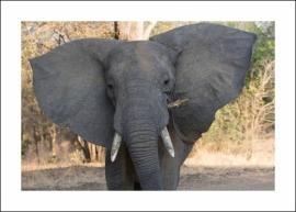 Olifant close up – en een van Africa's 'big five'