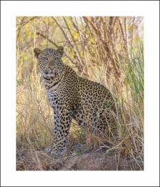 Luipaard - een van Africa`s `big five`