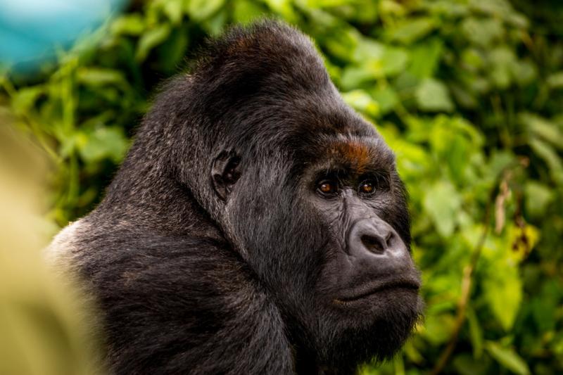 Volwassen berggorilla 2