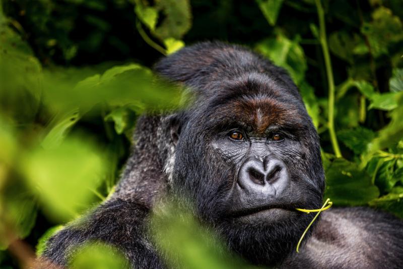 Volwassen berggorilla 1