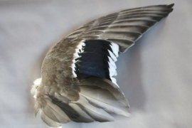 NIEUW! Verse eendenvleugels